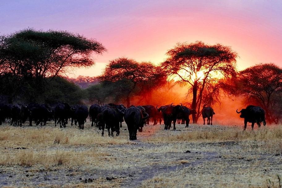 hunting safari, jagdsafari, jagdreise, jagdreise afrika, hunting outfitter, hunting africa, jagd afrika, hunting adventure, jagen in afrika, jagderlebnis afrika, büffeljagd, big game hunting, großwildjagd, trophhäenjagd, trophy hunting, mark dedekind safaris, nolte roets safaris, dries visser safarism numzaan safaris, diana jagdreisen, blaser safaris, buffalo hunting, büffeljagd