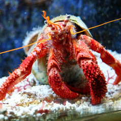 Hermit crabs have 10 legs, 6 arms (they are basically arms), and 4 antennae.  Of course they all have fancy scientific names.