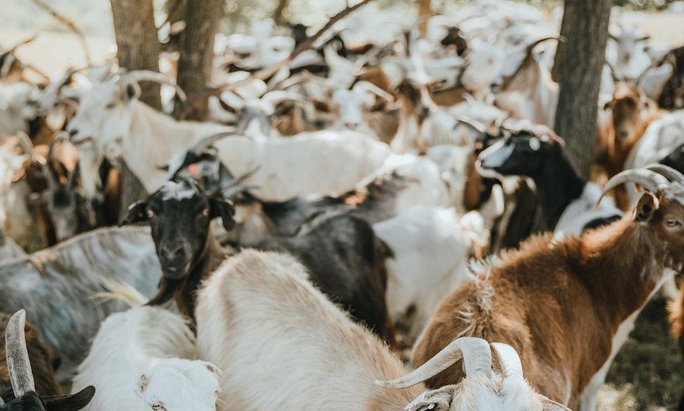 Chyangra/Himalayan Goat - 1kg
