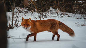 Fox Dancing by Unknown