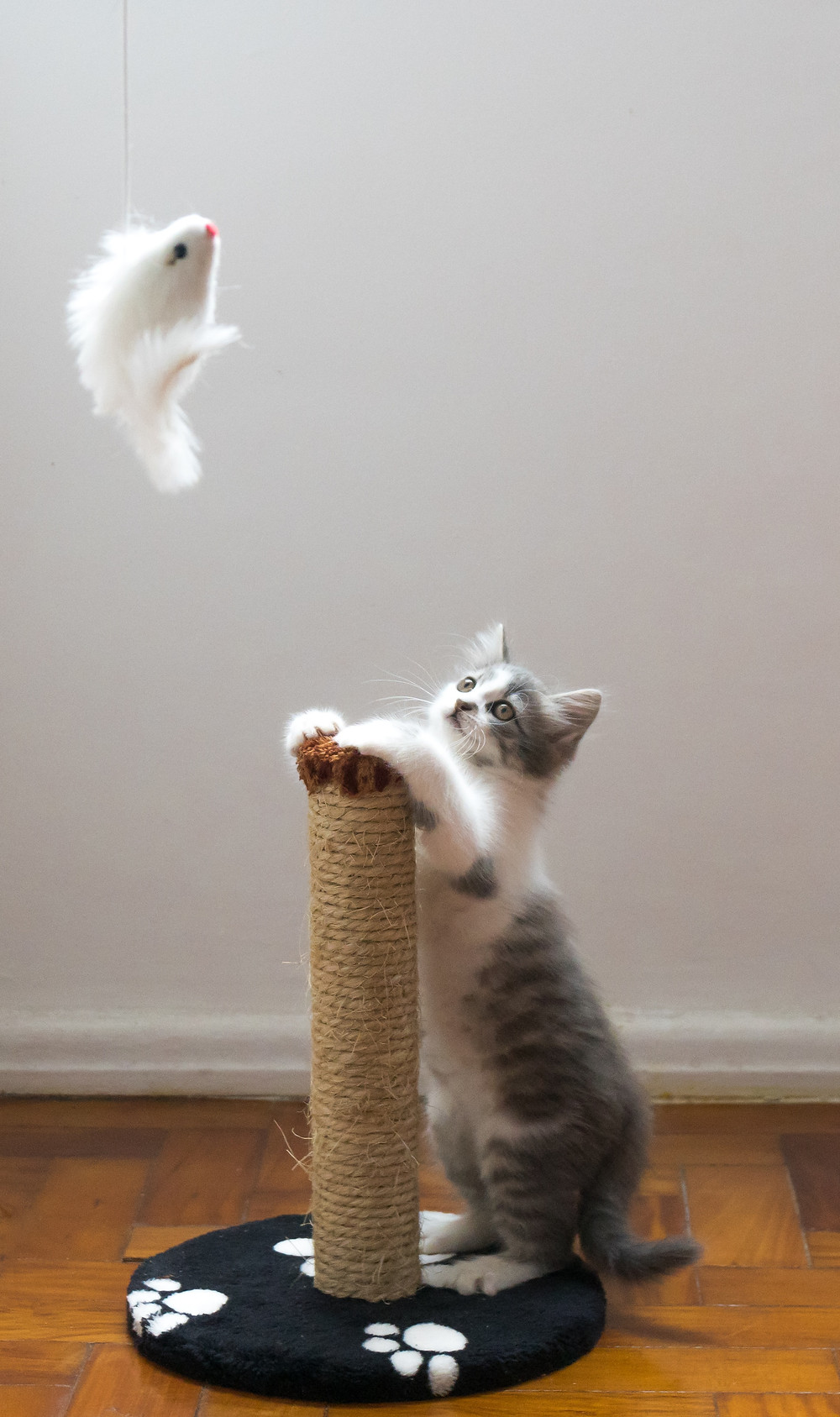 Kitten playing with scratching post.