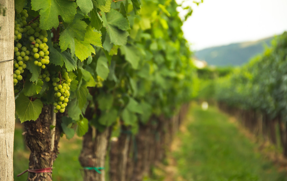 Rows of green grapes on vines in a vineyard