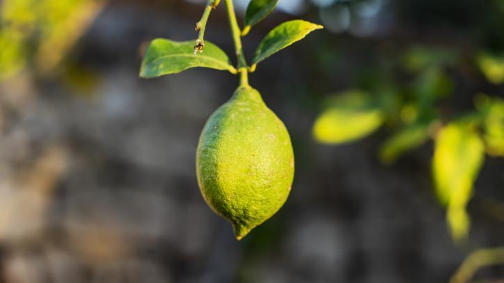 Chiaramonte Gulfi's citrus