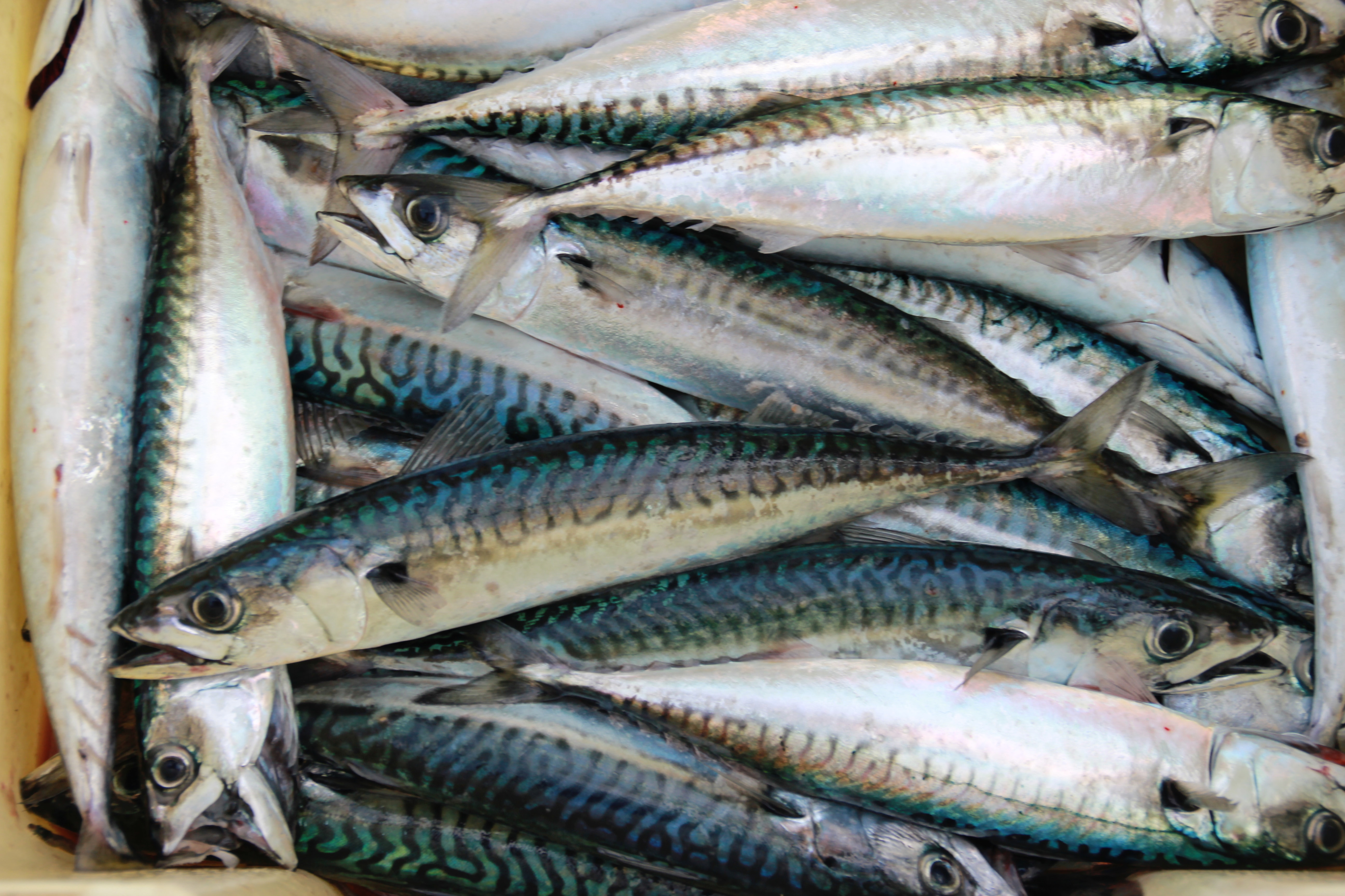 Atlantic Mackerel sitting in a fish tray