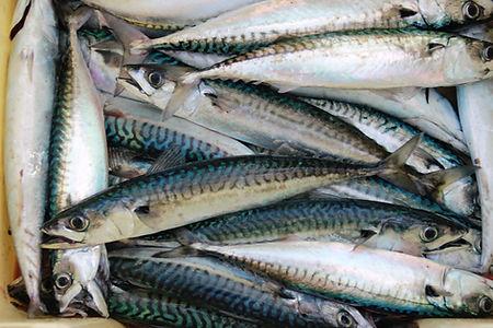 A box of fresh Atlantic Mackerel