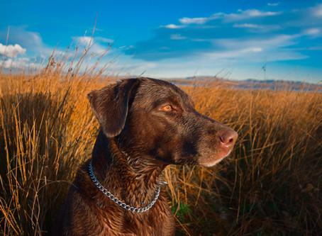 Sve što trebate znati o lovačkim psima i gdje ih nabaviti