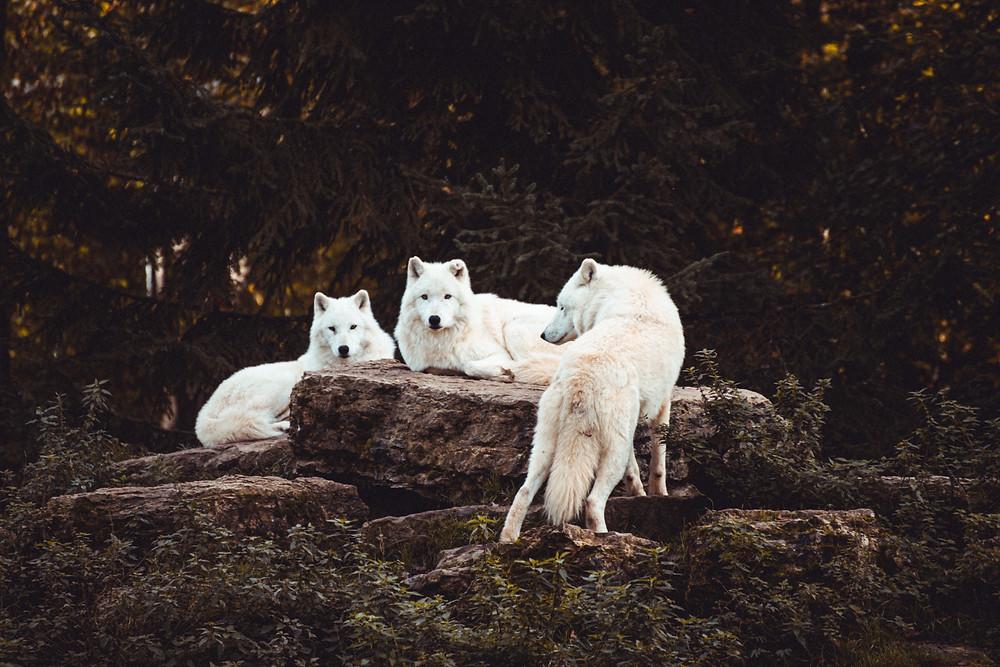 lobos em uma floresta