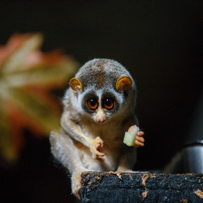 The Venomous Primate: Slow Loris