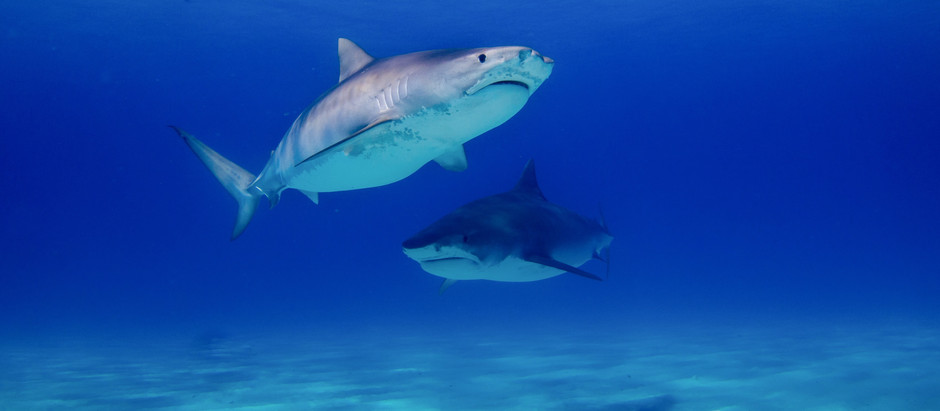 Lifestyle Changes That Can Help Save Sharks