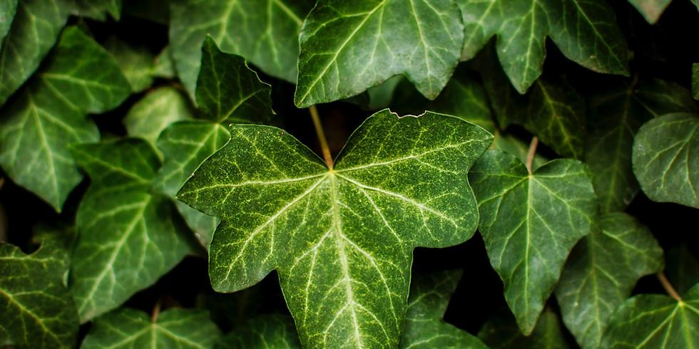 Plant Medicine: Ivy