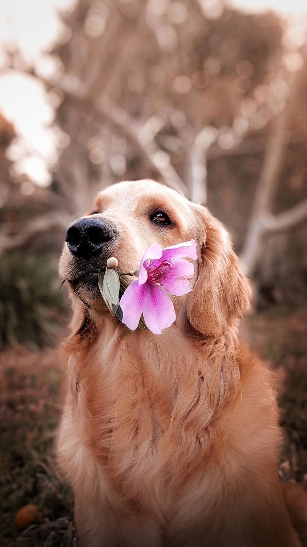 dog holding a flower