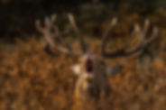 Berrea ciervo Pirine