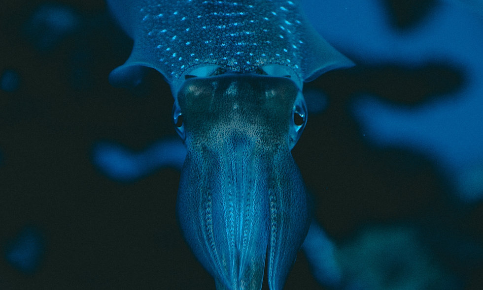 Cephalopods: Squid Dissection
