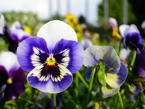 Mixed Annual Pansy Punnets