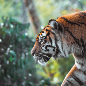 Conservation and Predatory Behaviour of Tigers