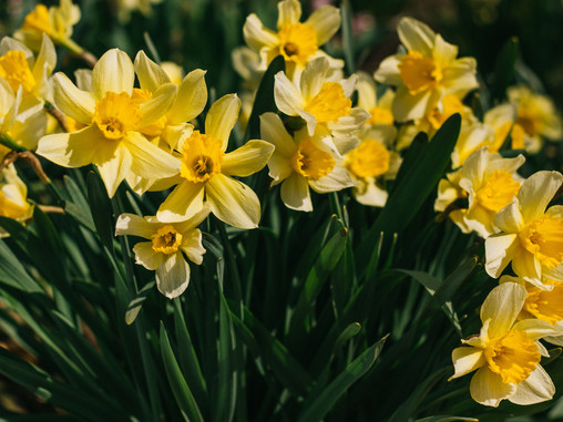 Flower of the Month: Daffodils