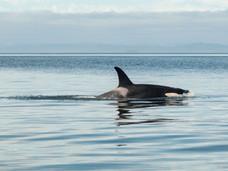 温哥华岛观鲸指南