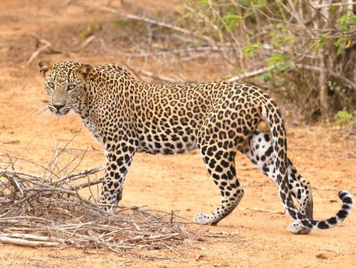 Yala National Park: Sri Lanka