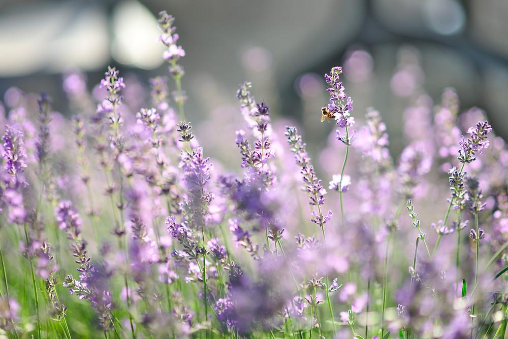 lavande France provence fragrance tanglefolie