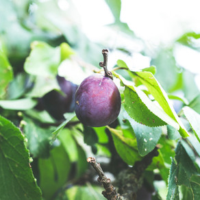 How to Plant Your American Plum Tree