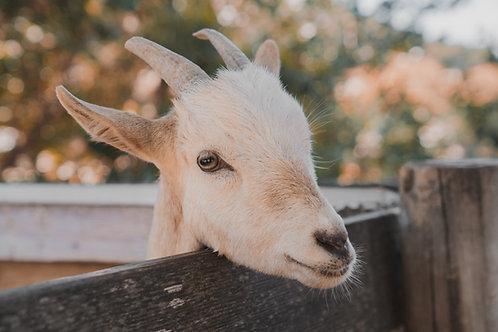 Why Do Fainting Goats Faint?