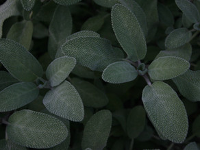 The Benefits of Sage According to Herbalists