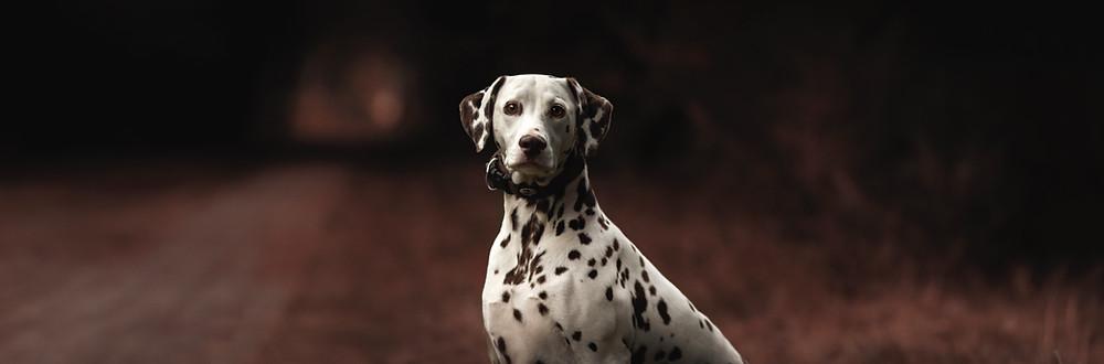 Dalmatinski pas
