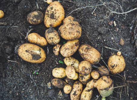 How to Grow Potatoes for Christmas Dinner!!!!
