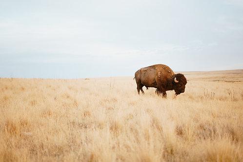 No. 4 Bison Prairie
