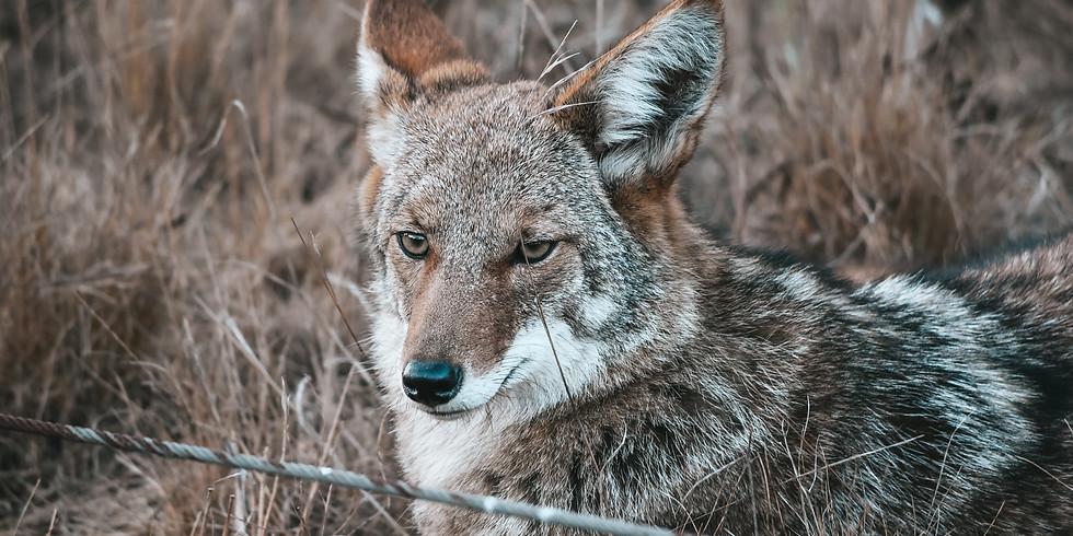 Half-Cocked Coyote Hunt