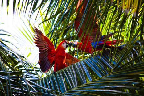 Aras rouges, photo de Debora Tingley