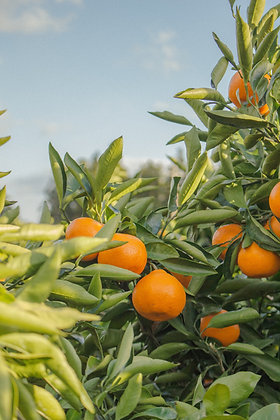 Orange /Espagne 1Kg