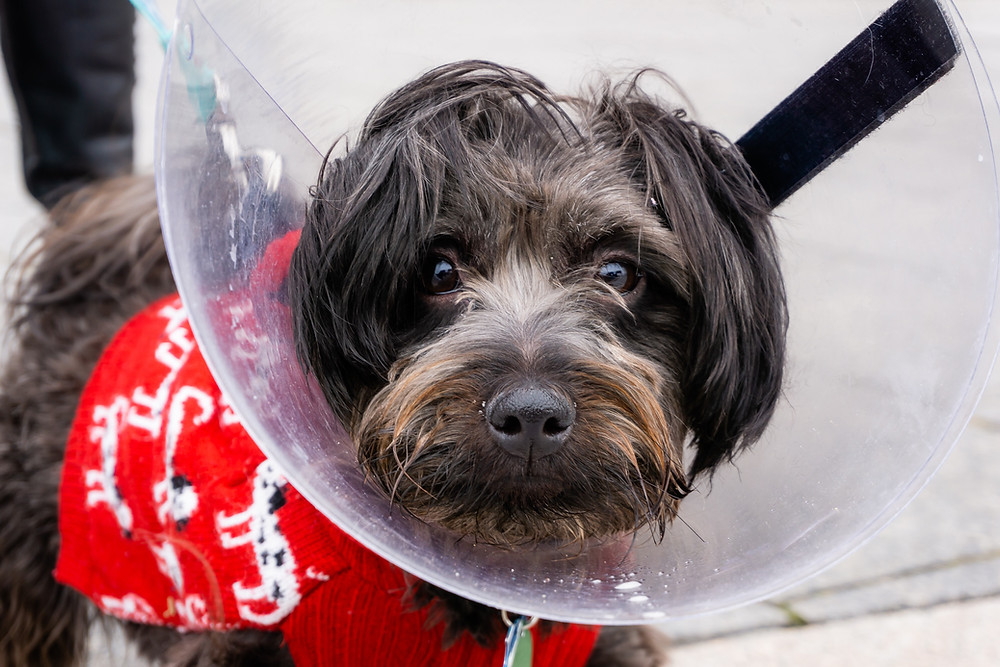 black dog in red sweater wearing protective Elizabethan collar