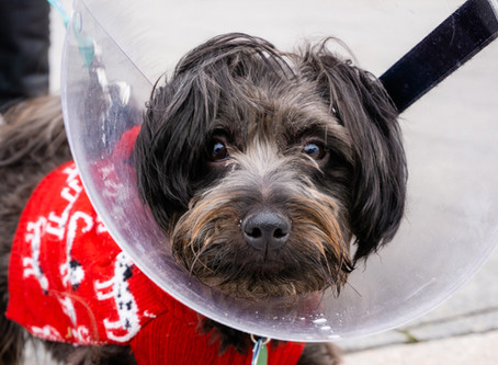 Preparing for your Pet's Spay at Media City Animal Hospital