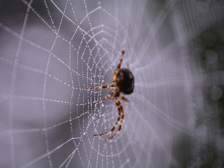 ספיר אלמשעלי| קורי עכביש