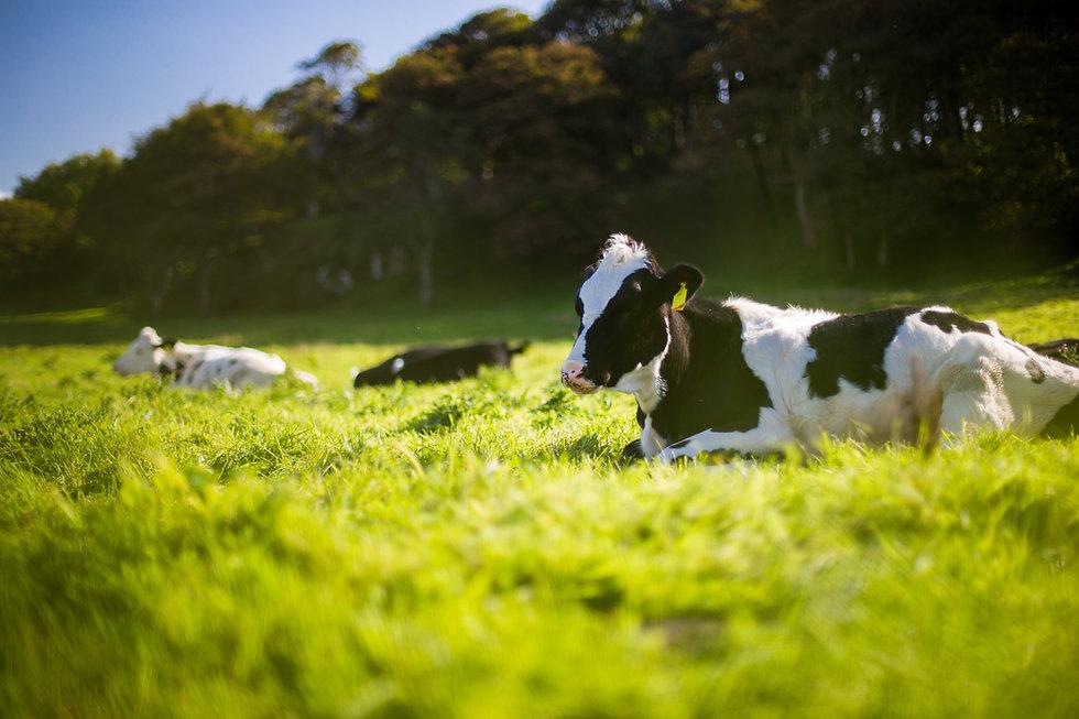 Kuh liegt auf Wiese