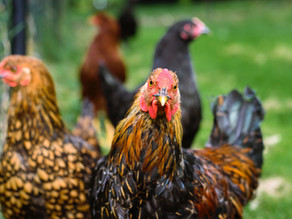Guide to starting with Backyard Chickens