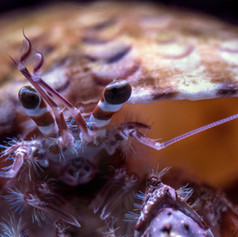 Hermit crabs make a unique chirping sound.  You might hear them whistling while they work around their habitat, communicating with their buddies, or letting you know if they want to be left alone.