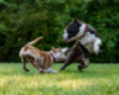 Two dogs showing vigorous play behaviour  Image by David Taffet