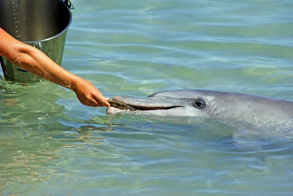 חיזוק חיובי - האכלה של דולפין