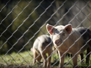 Optimization of pork eating quality by connecting the entire production chain
