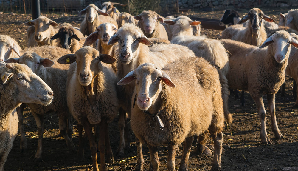 Herd Mentality at Mustard Seed Sentinel