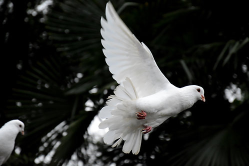 White Dove Reiki - Spiritual Energetic Assistance for Masters & Practitioners