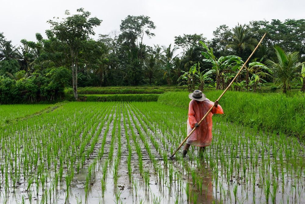 Farmer in a paddy rice field