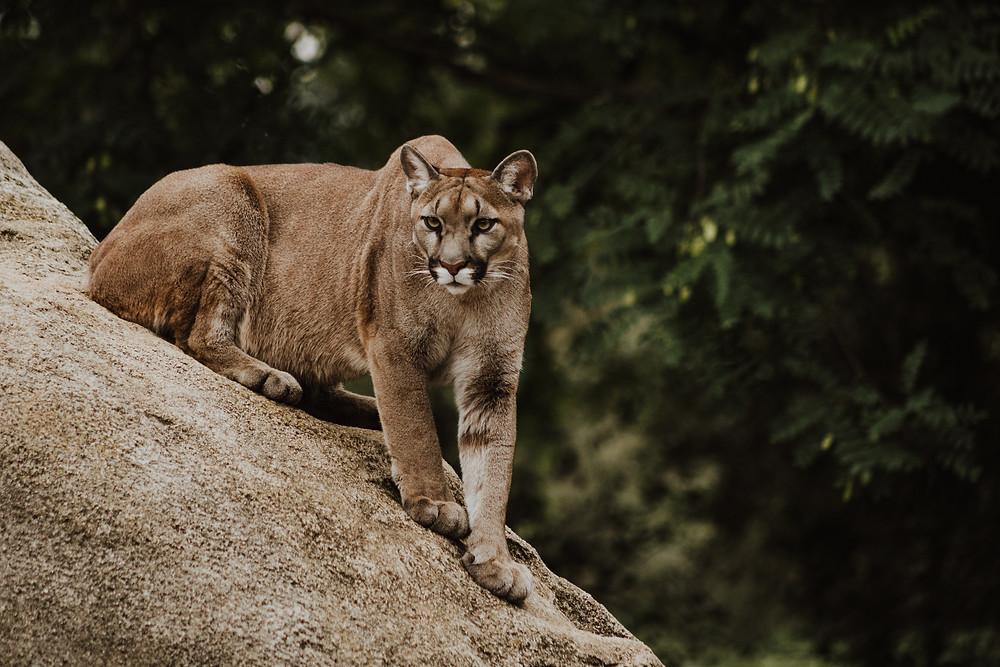 温哥华岛竟然是美洲狮最大的老窝。