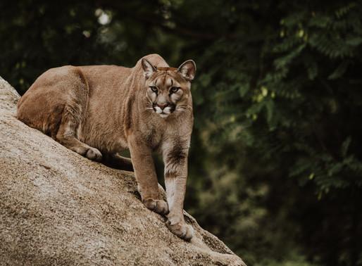 温哥华岛竟然是美洲狮老巢?人遇到美洲狮时该如何应对?
