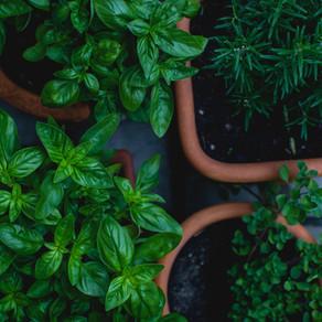 How to Grow Oregano