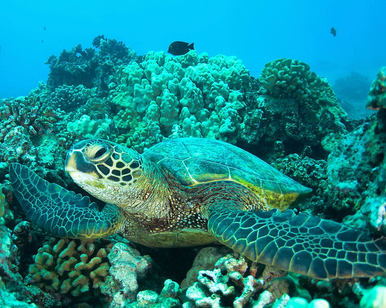 seaturtle on a reef
