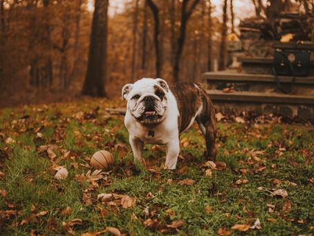 Mengenal Anjing Bulldog, Si Cerdas Penjaga Keamanan