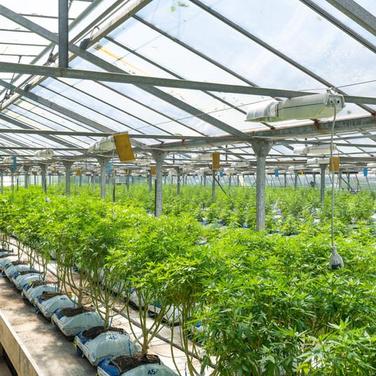 Hemp, Cannabis and Legal Marijuana Supply Chain